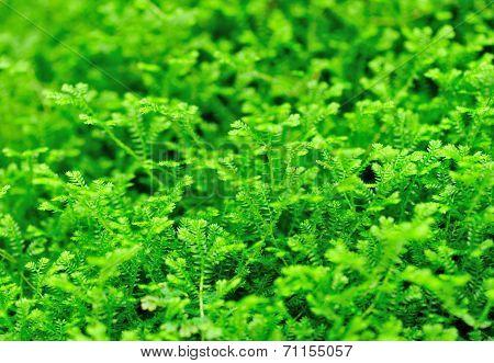 Selaginella martensii plant