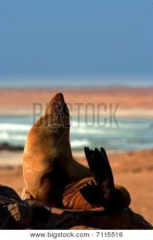 Southern Fur Seal