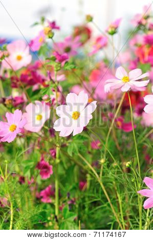 Beautiful cosmos flowers blooming in tibet