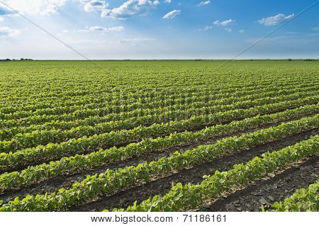 Soybean field ripening at spring season agricultural landscape