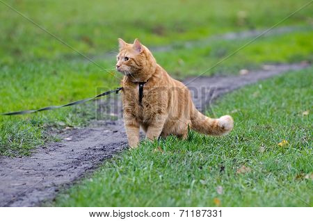 Red cat walking on a leash along the footpath on the background