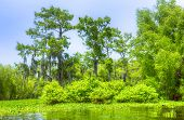 foto of cottonwood  - Swamp with Cypress Trees in Atchafalaya River Basin - JPG