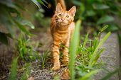 foto of orange kitten  - Cute domestic kitten looking up - JPG