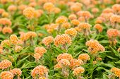 pic of celosia  - Orange Celosia or Wool flowers or Cockscomb flower in the garden or nature park - JPG