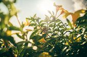 picture of trumpet flower  - Golden Trumpet flower or Allamanda cathartica in the garden or nature park vintage - JPG