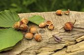 stock photo of hazelnut tree  - Freshly picked hazelnuts on lying on the old board on a green background - JPG