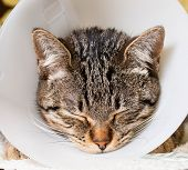 image of castration  - Portrait of an anesthetized cat with an Elizabethan collar inside home - JPG
