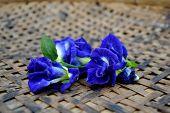 image of indigo  - Closeup flora  - JPG