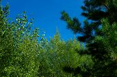picture of cynicism  - taiga trees in the Siberian taiga forest in autumn - JPG