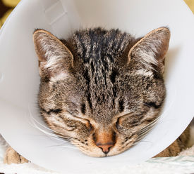 stock photo of castration  - Portrait of an anesthetized cat with an Elizabethan collar inside home - JPG