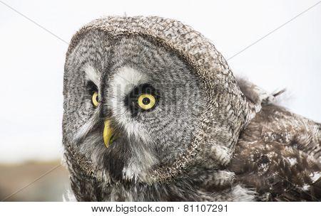 Eagle Owl - Close Up Portrait