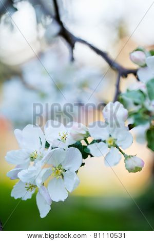 Close up of white flowers of blooming apple tree at spring