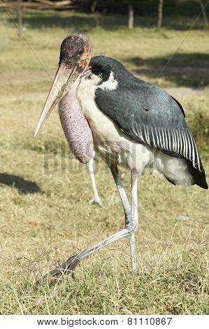 Marabou Stork, Awassa, Ethiopia, Africa