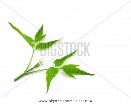 Twig With Green Leaves