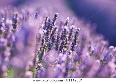 Lavender on field