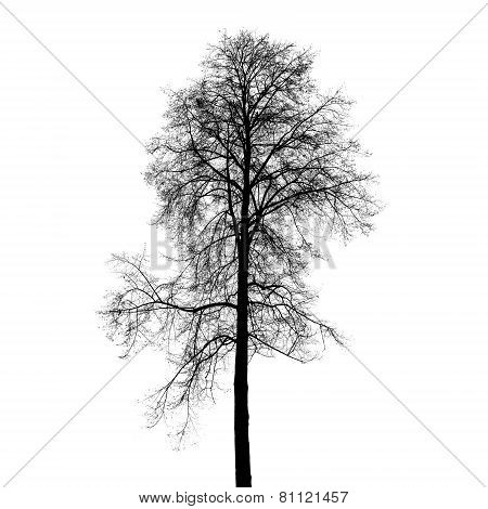 Leafless Birch Tree Silhouette Isolated On White
