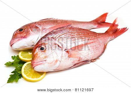 Porgy fish