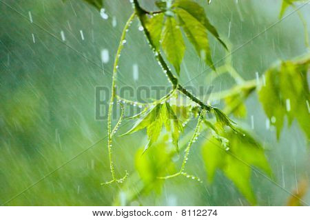 Virginia Creeper In Massive Rain