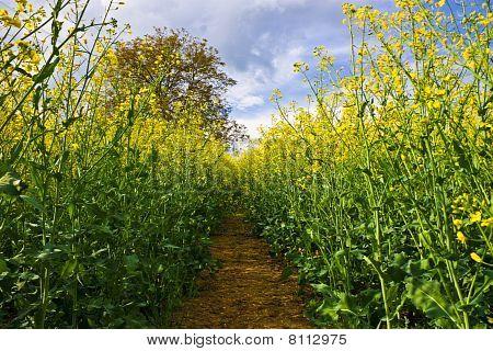 Campo de colza amarillo
