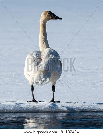 Tundra Swan in Winter