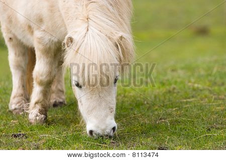 Horse / pony grazing close-up