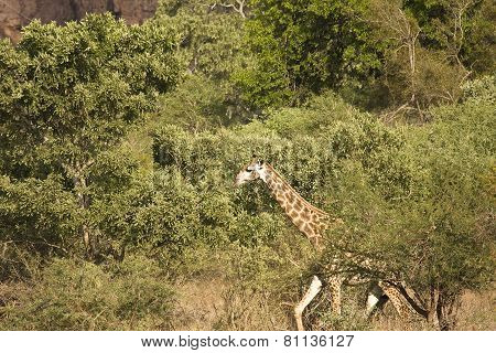 wild giraffe walking in the bush, Kruger national park, South Africa