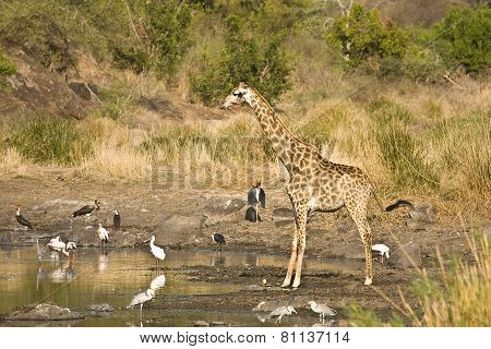 wild giraffe in the riverbank, Kruger national park, South Africa