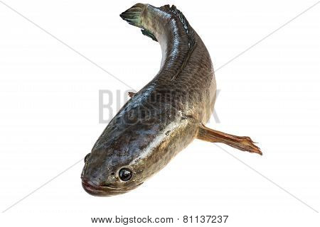 Striped Snakehead Fish  Isolated On White With Clipping Path