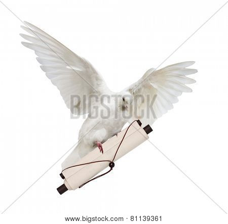 photo of flying dove with scroll isolated on white background