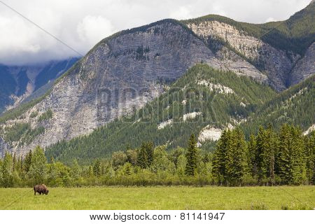 One single American Bison (Bison Bison) or Buffalo alone by mountains