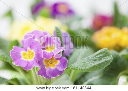 Bright Spring primroses