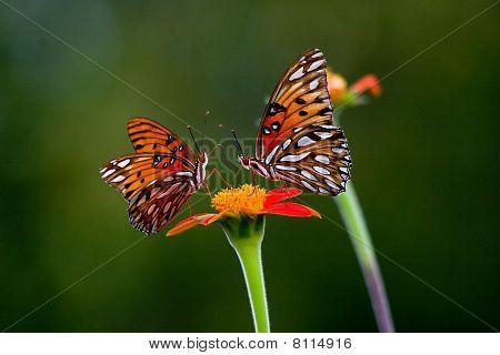 Butterflies face to face