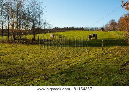 Grazing Horses In A Farm