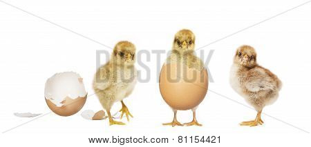 Three Chicks Hatching