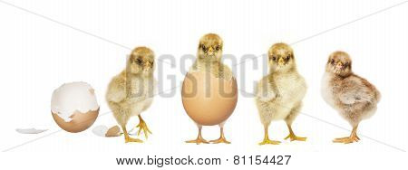 Four Chicks Hatching