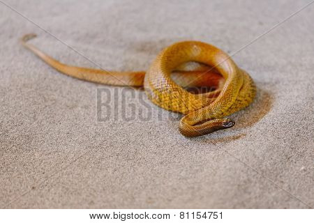 Inland Taipan At Snake Show