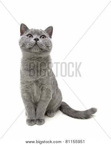 Young Gray Cat Sitting Isolated On White Background Background