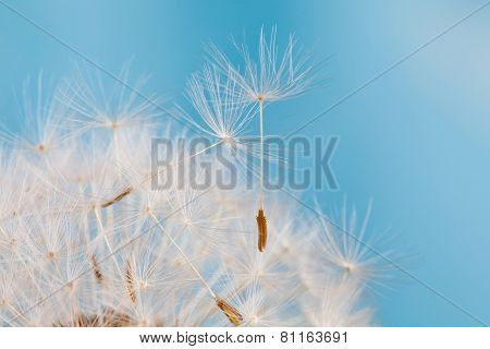 Dandelion. Blue Background. Macro View.