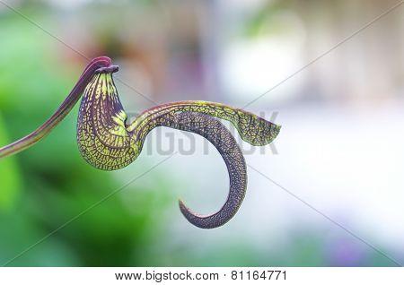 birthwort flower