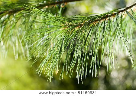 Beautiful Fir Branch In Sunshine. Soft Focus. Green Background. Toning Old Paper.