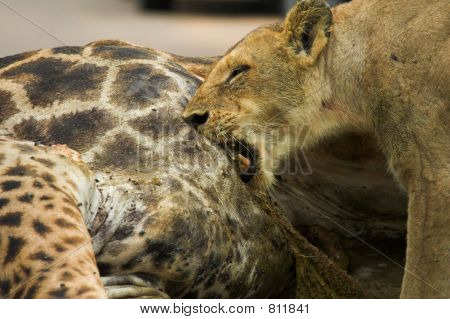 Feeding Lioness