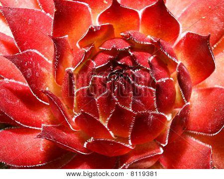 Red Sempervivum