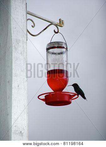 Colibri Bird Jamaica Small