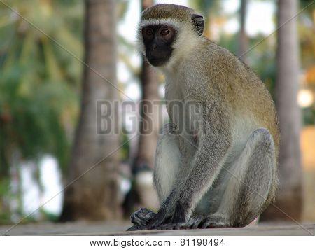 Monkey Sitting On Ass Kenia