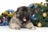 stock photo of shepherd  - Central Asian Shepherd puppy on the background of decorated Christmas tree - JPG