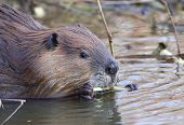 picture of beaver  - Beaver at Elk Island Park - JPG