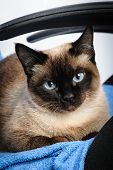 image of siamese  - siamese cat face macro closeup - JPG
