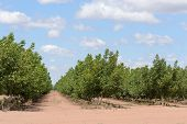 image of row trees  - rows of walnut trees with a cloudy sky - JPG