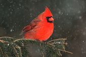 picture of cardinal  - Male Northern Cardinal  - JPG