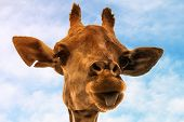 stock photo of long tongue  - Portrait of a nice giraffe with funny tongue - JPG